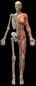 Weibliche Muskulatur